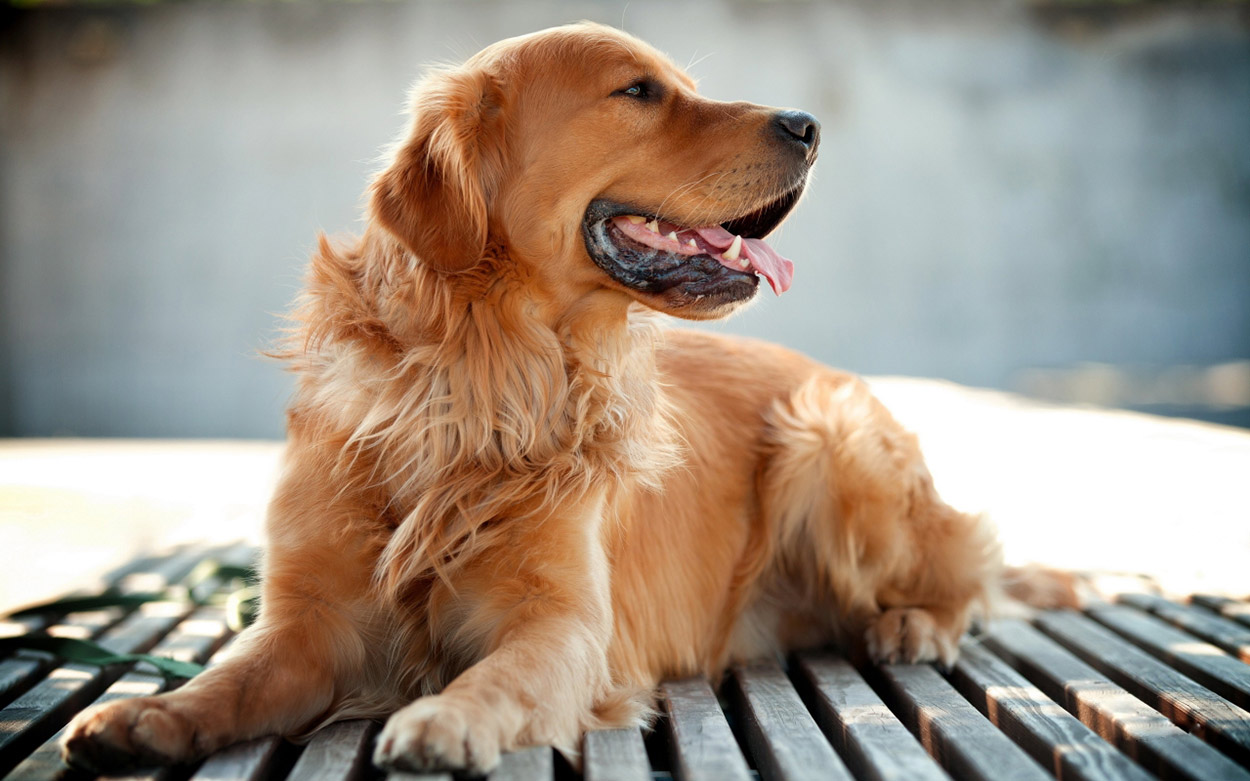 Golden-Retriever-detailed-image